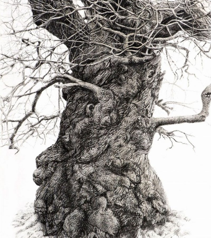 charcoal-drawn image of an ancient Sweet Chestnut tree