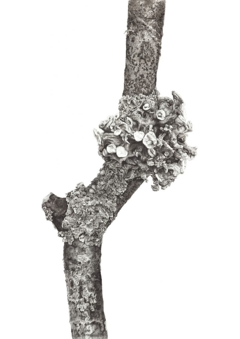 Image of an original charcoal drawing of Ramalina and Xanthoria lichen on an ash twig