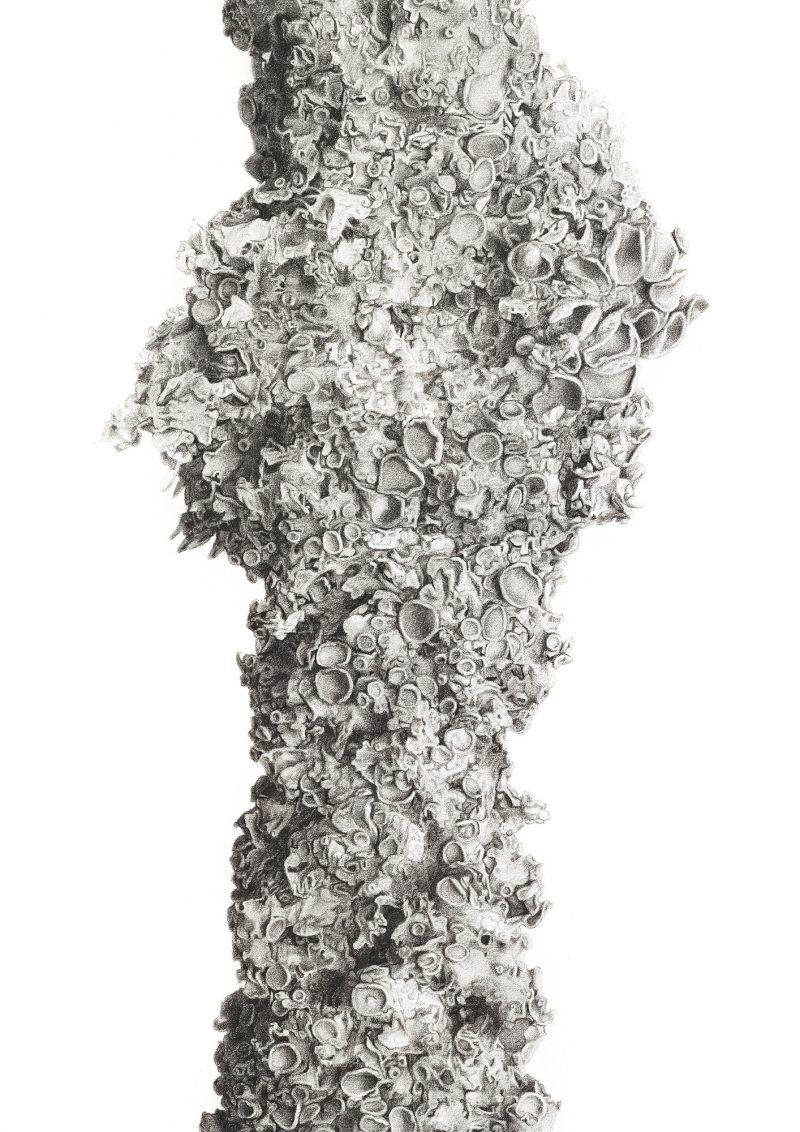 Image of original charcoal drawing of Xanthoria Lichen