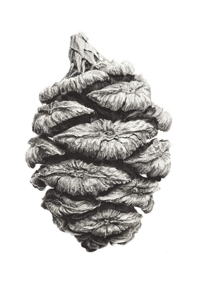 An image of a Giant sequoia tree cone charcoal drawing