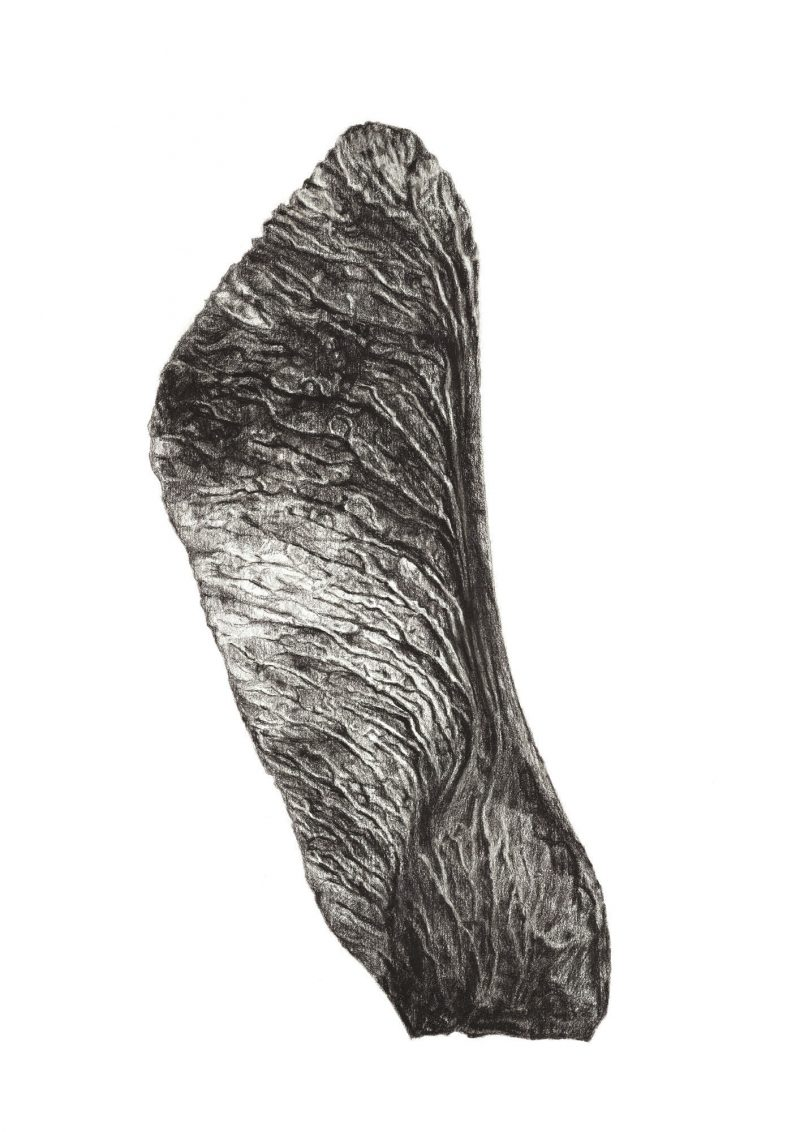 Charcoal-drawn image of a Norway Maple seed